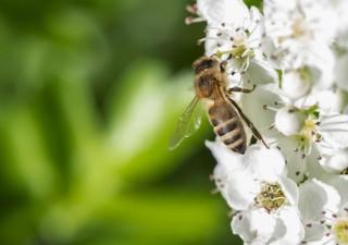 Eine Biene bestäubt Weißdronblüten