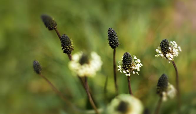 Spitzwegerich in voller Blüte