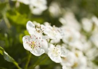 Blühender Weißdorn im Frühling