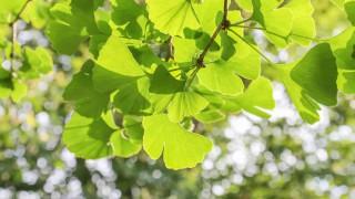 Der Ast eines Ginkgo-Baums