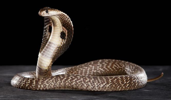 Das Schlangengift der Kobra kann bei Rheuma-Schmerzen helfen.
