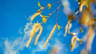 Der Wind verweht Birkenpollen