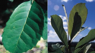 Mate-Blätter haben viele gesunde Inhaltsstoffe.