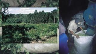 Mate-Tee ist in Südamerika sehr beliebt. und wird dort angebaut.