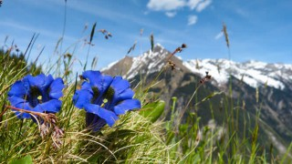 Blühender Enzian in den Bergen