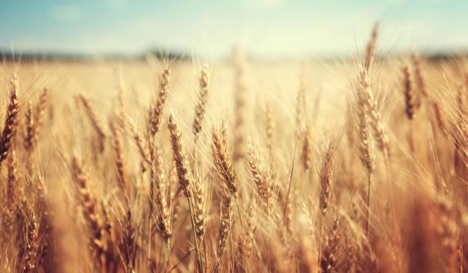 Mit Getreide kann man gut Selen aufnehmen.