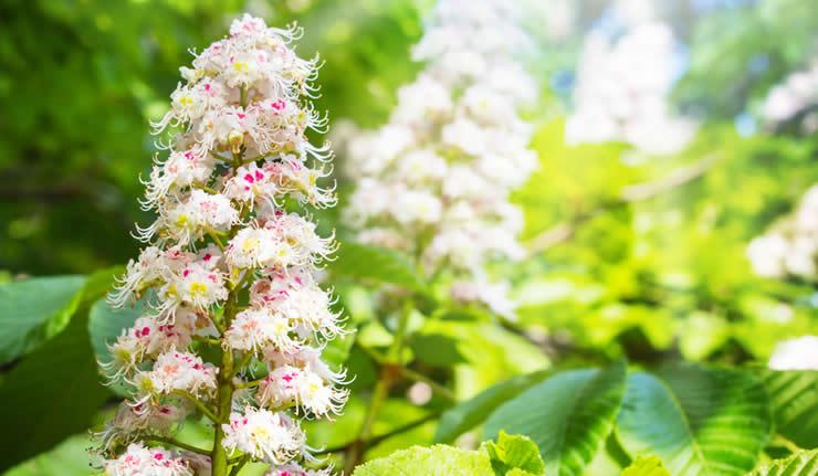 Eine Kastanienblüte im Frühjahr