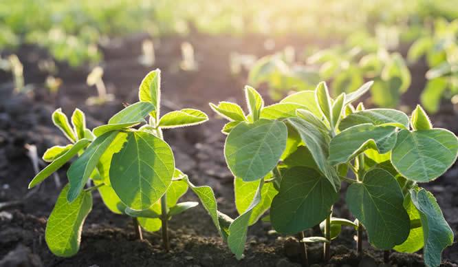 Auf einem Feld stehen kultivierte Sojabohnen im Sonnenschein