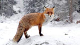 Ein junger Fuchs in einem verschneiten Wald